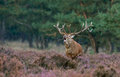 Red deer during ruting season burls mating Royalty Free Stock Photo