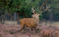 Red deer during ruting season burls mating Stock Photography