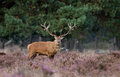 Red deer during ruting season mating Stock Photography