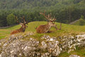 Red deer, Scottish Highlands Royalty Free Stock Photo