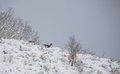 Red Deer on snowed mountain Royalty Free Stock Photos