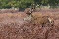 Red Deer Stag Among Bracken
