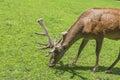 Red deer stag - Cervus Elaphus Royalty Free Stock Photo