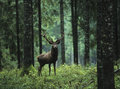 Red deer stag in forest Royalty Free Stock Photo