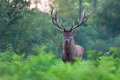 Red deer stag. Royalty Free Stock Photo