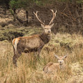 Red deer stag and hind a with antlers stands over a lying on the ground Stock Image