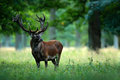 Red deer stag outside autumn forest, animal lying in the grass, nature habitat, Czech Republic Royalty Free Stock Photo