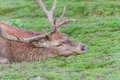 Red deer stag resting Royalty Free Stock Photo