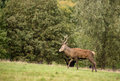 Red deer stag during rutting season in autumn Stock Images