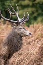 Red deer stag during rutting season in autumn Royalty Free Stock Images