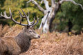 Red deer stag during rutting season in autumn Stock Photography