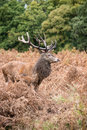 Red deer stag during rutting season in autumn Stock Photo