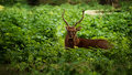 Red deer stag sitting in green grass in forest Royalty Free Stock Image