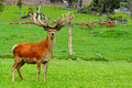 Red deer stag in velvet Royalty Free Stock Photos
