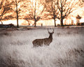 Red deer stag watches Winter sunrise Stock Photo
