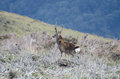 Red deer stag in wicklow ireland the mountains of Royalty Free Stock Photography