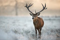 Red deer stag in winter Royalty Free Stock Photo