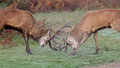Red deer stags fighting a pair of on a crisp morning Royalty Free Stock Images