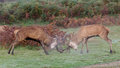 Red deer stags fighting a pair of on a crisp morning Royalty Free Stock Photos