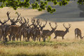 Red deer stags a herd of in velvet antlers in the evening light Royalty Free Stock Image