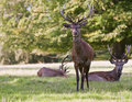 Red deer stags relaxing in Summer Royalty Free Stock Photography