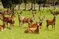 Red deer stags in velvet Royalty Free Stock Photos