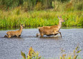 Red Deer wading Royalty Free Stock Images