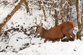 Red Deer in the  winter forest Stock Photography