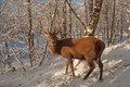 Red Deer in the  winter forest Stock Photo