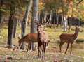Red Deers In Nature