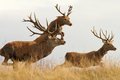Image : Red deers on the run   with