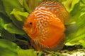 Red discus fish Stock Photo