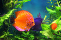 Red discus fish in aquarium Royalty Free Stock Photo