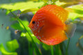Red discus fish Royalty Free Stock Photo