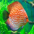 Red discus symphysodon discus perfectly feels in an aquarium Stock Image