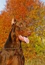 Red dobermann Stock Photo
