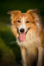 Red dog border collie Royalty Free Stock Images