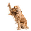 Red dog breed spaniel gives paw isolated Royalty Free Stock Photography