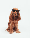 Red dog retro sunglasses Stock Photography