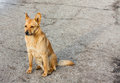 Red dog a sitting on the road Stock Image