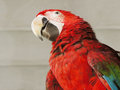 Red domestic parrot in a zoo of argentina Royalty Free Stock Photography