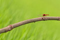 Red Dragon Fly Stock Photography