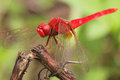 Red dragon fly a close up of a dragonfly standing in a branch Stock Photo