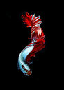 Red doubletail siamese fighting fish, betta fish isolated on bla