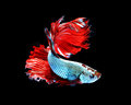 Red dragon siamese fighting fish, betta fish isolated on black b