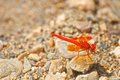 Red dragon on a stone in a river in jijel algeria Stock Image