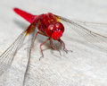 Red dragonfly beautiful vivid perched on a wooden railing Stock Photography