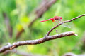 Red dragonfly on a branch animal Stock Photos