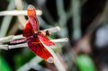 Red dragonfly caught in a tree Stock Images