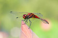 Red dragonfly the close up of scientific name crocothemis servilia Royalty Free Stock Photos